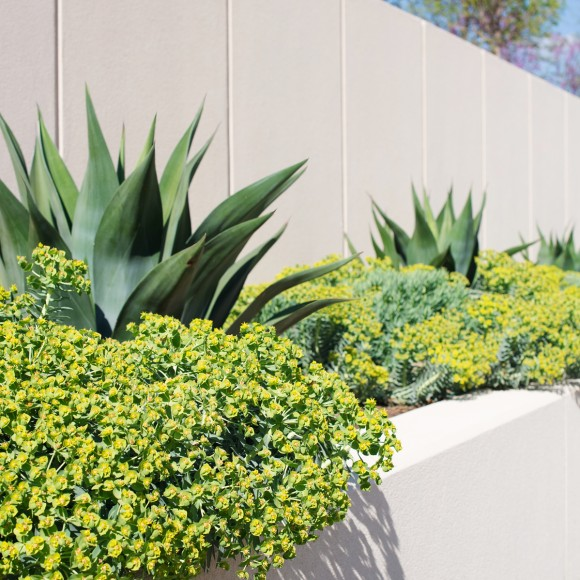 Contemporary raised concrete planter with agave and gopher plants at a residential property in Coppell, Texas.